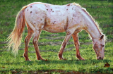 "WES SIEGRIST "" APPALOOSA IN THE AFTERNOON """