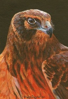 "WES SIEGRIST "" SKYLORD - NORTHERN HARRIER """