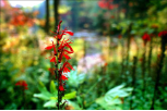 "KENNETH MURRAY PHOTOGRAPHY "" CARDINAL FLOWER - BAYS MOUNTAIN "" 5.5"" X 8.5"""