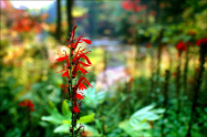 "KENNETH MURRAY PHOTOGRAPHY "" CARDINAL FLOWER - BAYS MOUNTAIN "" 9.5"" X 13"""