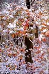 "KENNETH MURRAY PHOTOGRAPHY "" MAPLE TREES IN SNOW "" 9.5"" X 13"""