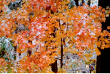 "KENNETH MURRAY PHOTOGRAPHY "" ORANGE LEAVES WITH SNOW "" 13"" x 19"""